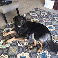 German Shepherd Dog/Collie Mix Dog for adoption in Vancouver, Washington - Jade