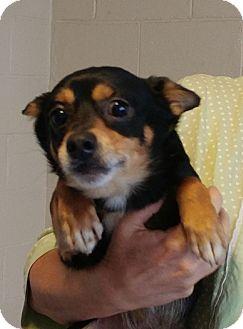 Dachshund/Terrier (Unknown Type, Small) Mix Dog for adoption in Sylva, North Carolina - Binx