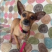 Adopt A Pet :: Poppy - Umatilla, FL