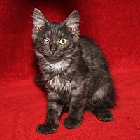 Domestic Mediumhair Kitten for adoption in Marietta, Ohio - Blackberry (Spayed)