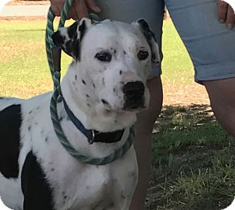Dalmatian Mix Dog for adoption in Turlock, California - Rory