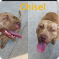 American Pit Bull Terrier/American Staffordshire Terrier Mix Dog for adoption in Flint, Michigan - Chisel
