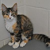 Domestic Longhair Kitten for adoption in Parsons, Kansas - Bella
