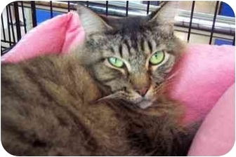 Maine Coon Cat for adoption in Easley, South Carolina - Molly Sue