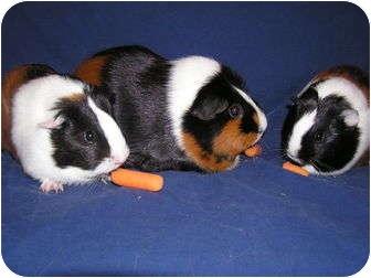 Guinea Pig for adoption in Grand Rapids, Michigan - Taffy & Belle