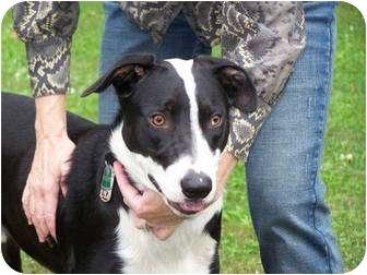 Great Dane/Labrador Retriever Mix Dog for adoption in Lebanon, Maine - Theo-Urgent in GA