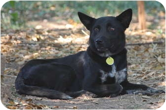 Border Collie/Terrier (Unknown Type, Medium) Mix Dog for adoption in PORTLAND, Maine - Phoebe