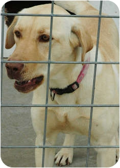 Labrador Retriever Mix Dog for adoption in Ripley, Tennessee - Marley  (1738)