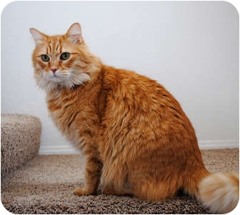 Domestic Longhair Cat for adoption in Palmdale, California - Icarus