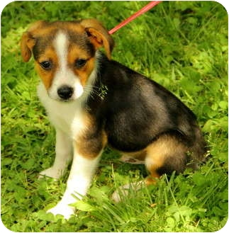 Jack Russell Terrier Mix Puppy for adoption in Spring Valley, New York - Cody