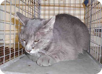 Domestic Shorthair Cat for adoption in Yuba City, California - 6/22 Unknown Sex/Age