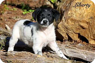 Spaniel (Unknown Type) Mix Puppy for adoption in Wilmington, Delaware - Liberty