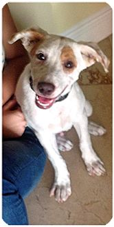 Labrador Retriever/Terrier (Unknown Type, Medium) Mix Puppy for adoption in Miami, Florida - WishBone