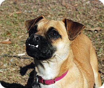 Pug/Chihuahua Mix Dog for adoption in Greensboro, Georgia - Miley- Adopted