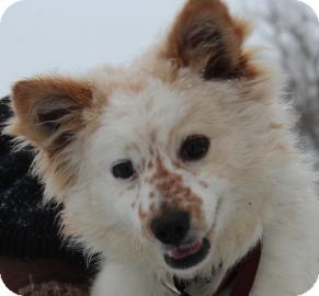 Pomeranian Mix Dog for adoption in Minnetonka, Minnesota - Freckles