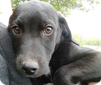 Labrador Retriever/Pointer Mix Puppy for adoption in Evergreen, Colorado - Choctaw