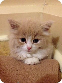 Domestic Longhair Kitten for adoption in Douglas, Ontario - Pumpkin