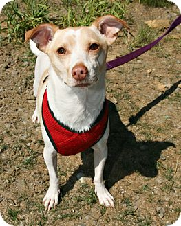 Chihuahua Mix Dog for adoption in Bellingham, Washington - Dorito