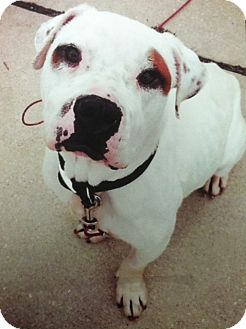 American Bulldog Mix Dog for adoption in Franklin, Indiana - DUDLEY