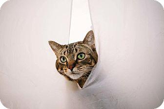 Domestic Shorthair Cat for adoption in Warren, Michigan - Coco