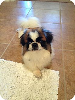 Japanese Chin/Pekingese Mix Dog for adoption in Fort Worth, Texas - QUINCY