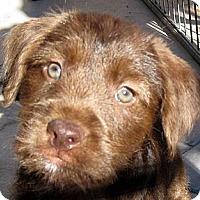 Adopt A Pet :: Baby Cora - Oakley, CA