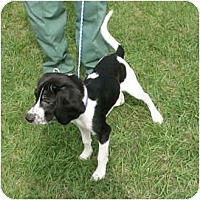 Adopt A Pet :: Pippa - Kingwood, TX