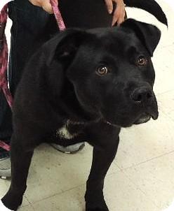Labrador Retriever/Rottweiler Mix Dog for adoption in Sioux City, Iowa - BUDDY