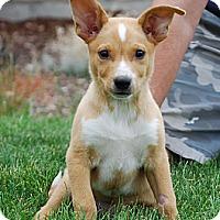 Adopt A Pet :: Lil' Cee - Broomfield, CO