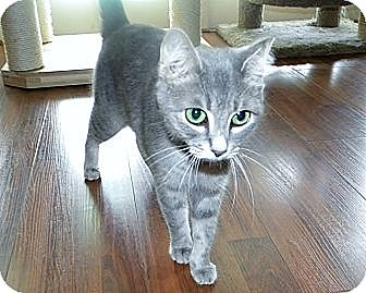 American Shorthair Cat for adoption in Tampa, Florida - Emmy