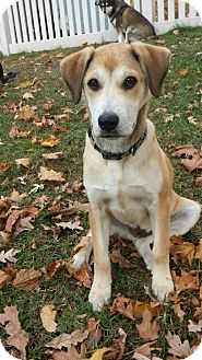 Beagle/Hound (Unknown Type) Mix Puppy for adoption in Sagaponack, New York - Mason