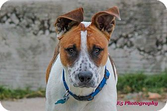 Pointer Mix Puppy for adoption in Seguin, Texas - Ruger