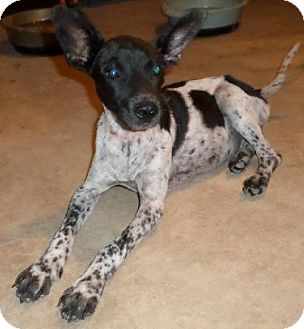 Labrador Retriever/Cattle Dog Mix Dog for adoption in Von Ormy, Texas - DOUG
