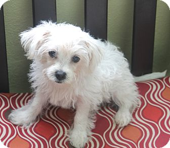 Poodle (Miniature)/Terrier (Unknown Type, Small) Mix Dog for adoption in Woonsocket, Rhode Island - Asprey