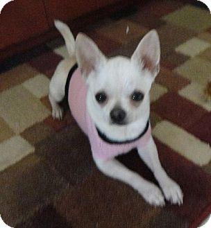 Chihuahua Dog for adoption in Lansing, Kansas - Mickey