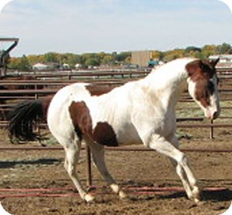 Paint/Pinto Mix for adoption in Aztec, New Mexico - Pen
