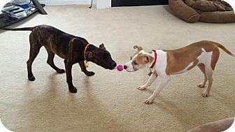 Basenji/Labrador Retriever Mix Dog for adoption in Hayes, Virginia - Ava