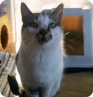 Domestic Shorthair Cat for adoption in Porter, Texas - Marcie