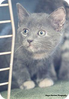Domestic Shorthair Kitten for adoption in Homewood, Alabama - Asher