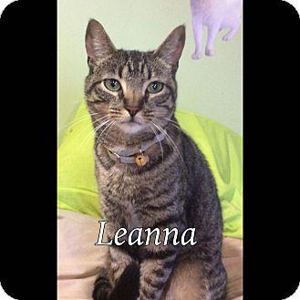 Domestic Shorthair Cat for adoption in Breinigsville, Pennsylvania - Leanna