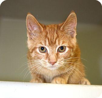 Domestic Shorthair Kitten for adoption in Harrisonburg, Virginia - Apricat