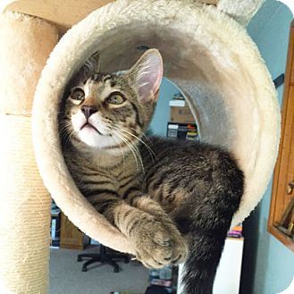Domestic Shorthair Kitten for adoption in Arlington/Ft Worth, Texas - Hamlet