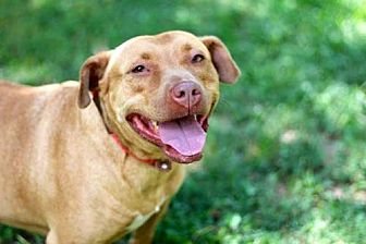 Pit Bull Terrier Dog for adoption in Spring Valley, New York - LADY LAUREL