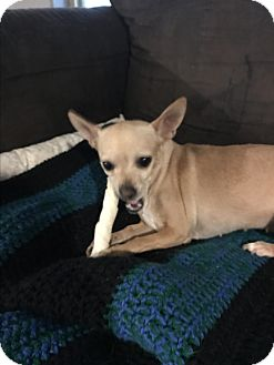 Chihuahua Mix Dog for adoption in Tumwater, Washington - Brandy