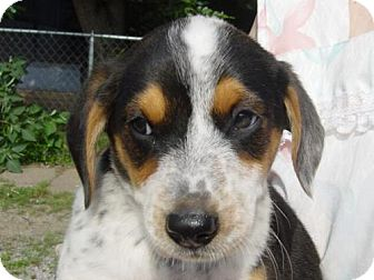 Australian Cattle Dog Mix Puppy for adoption in Cushing, Oklahoma - TUCKER adopted