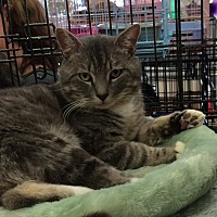 American Shorthair Cat for adoption in Cerritos, California - Cooper