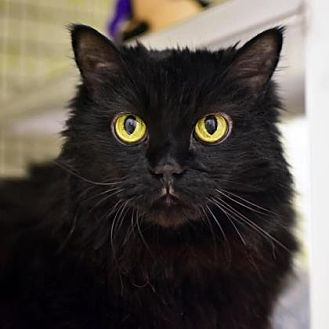 Domestic Longhair Cat for adoption in Denver, Colorado - Gizzy