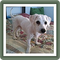 Bichon Frise Dog for adoption in Tulsa, Oklahoma - Adopted!! Hoover - IL