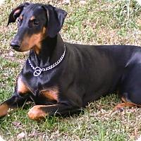 Adopt A Pet :: Gillis - Rancho Cucamonga, CA