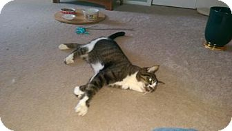 Domestic Shorthair Cat for adoption in Trenton, New Jersey - Mello